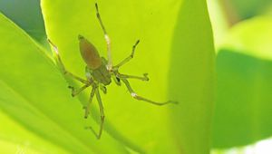 Araignée : Cheiracanthium