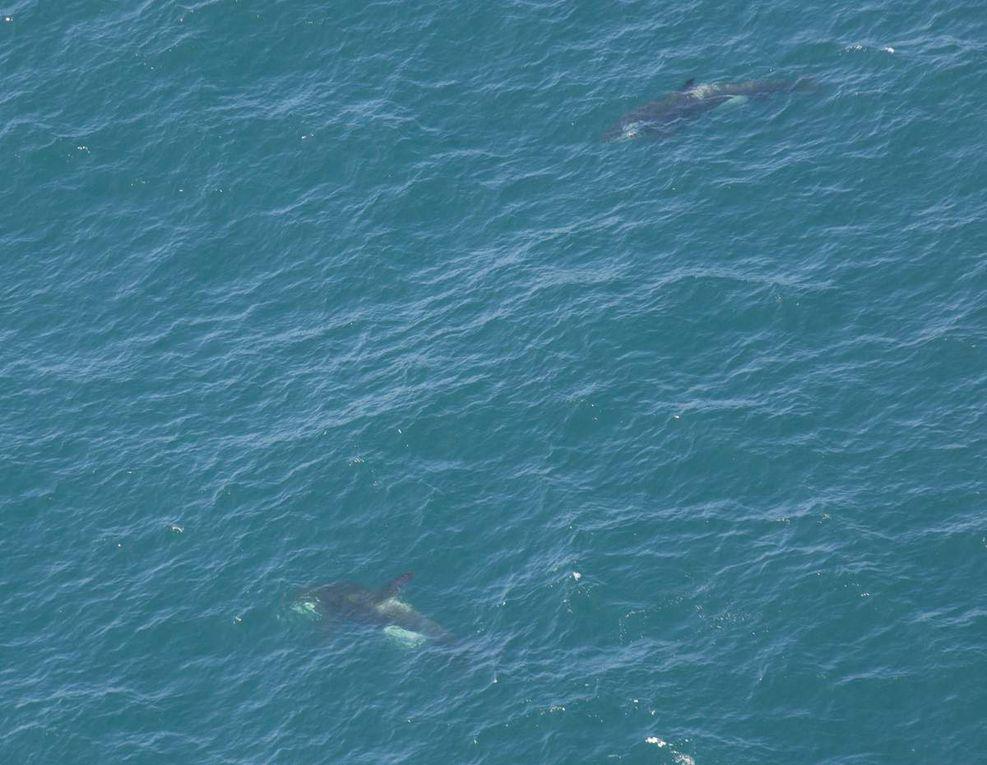 Grand groupe de sotalie et observation de 2 orques. Crédit photos: AFB - Pelagis - Morgane Perri et Antoine Baglan.