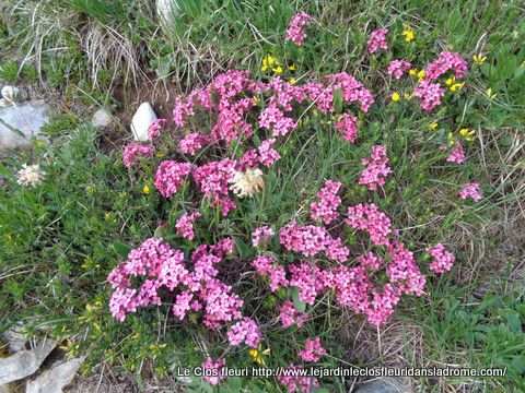 Daphne cneorum  L.   Thymelaeaceae  Petite thymélée