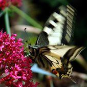 Battements d'ailes du papillon Machaon ou Grand porte-queue 4ème épisode sur du lilas d'Espagne - Autour de