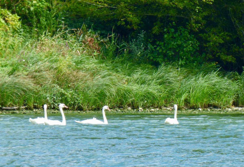 Ce jour-là sur le Rhône, d'un côté comme de l'autre, les cygnes sont de sortie...