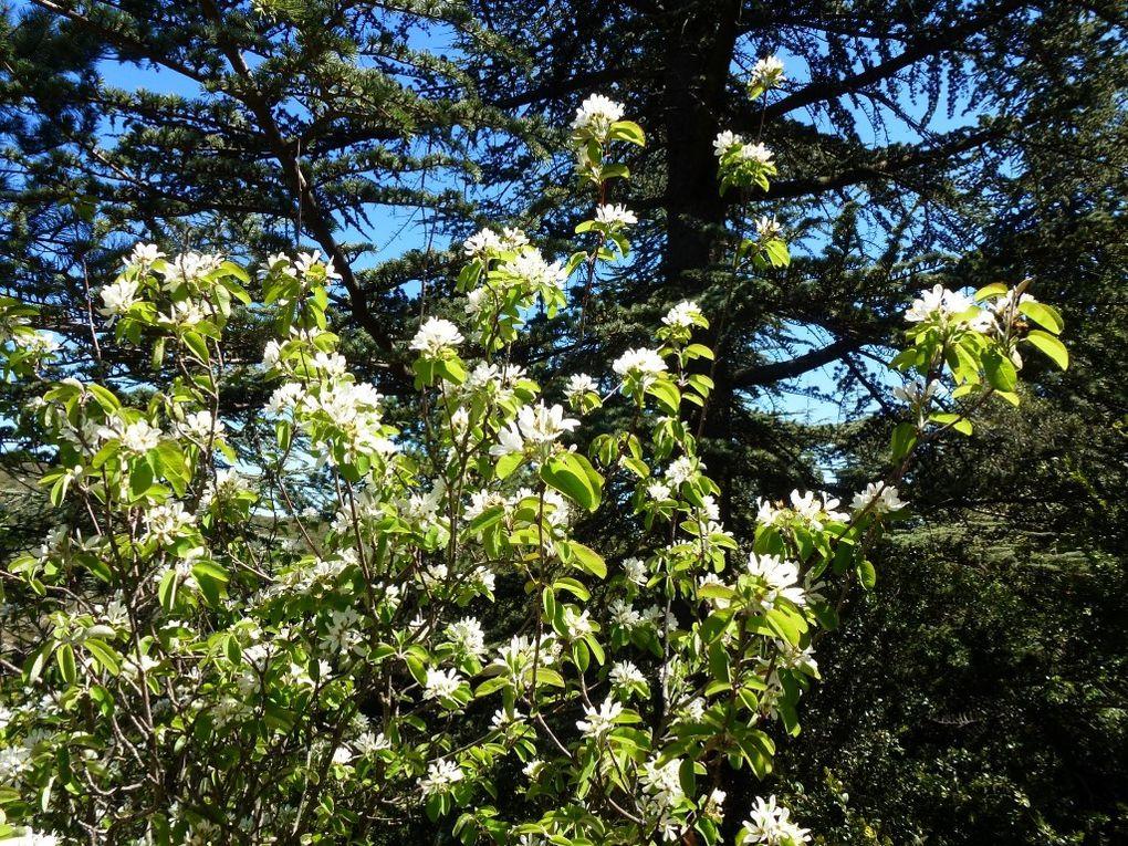 La garrigue est très fleurie : cistes et amélanchiers sont en fleurs...
