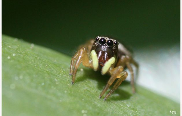 Araignée salticide 21