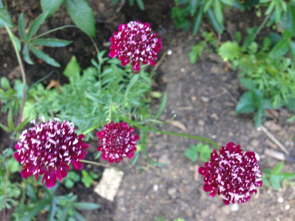 Scabiosa atropurpurea 'Chile black' - août