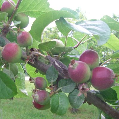 Apple Thinning in an Organic Orchard
