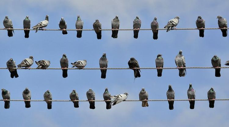 http://md1.libe.com/photo/618107-pigeons-rest-on-electric-wires-in-srinagar.jpg?modified_at=1391788203&width=750