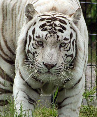 Les tigres blancs