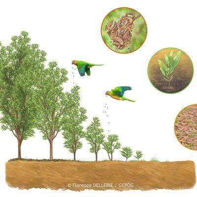 Illustration scientifique écologie : Acacia mangium, traits de vie