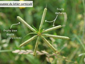 Exemple de gousses, le fruit des Fabaceae