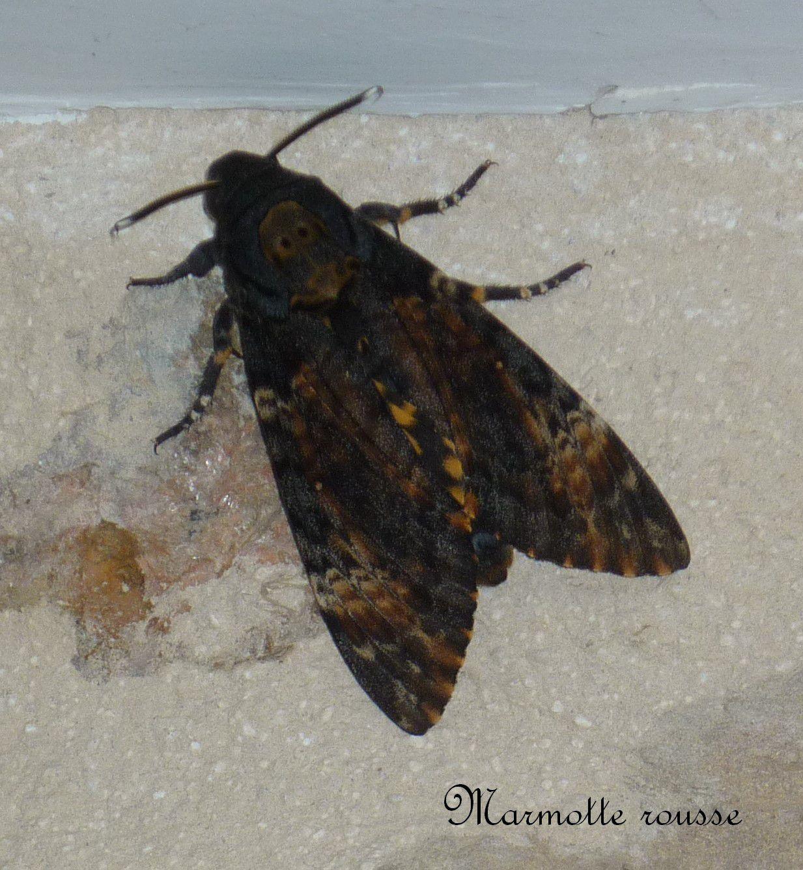 On devine ses ailes inférieures jaunes striées de noir que j'ai vaguement aperçues à l'envol.