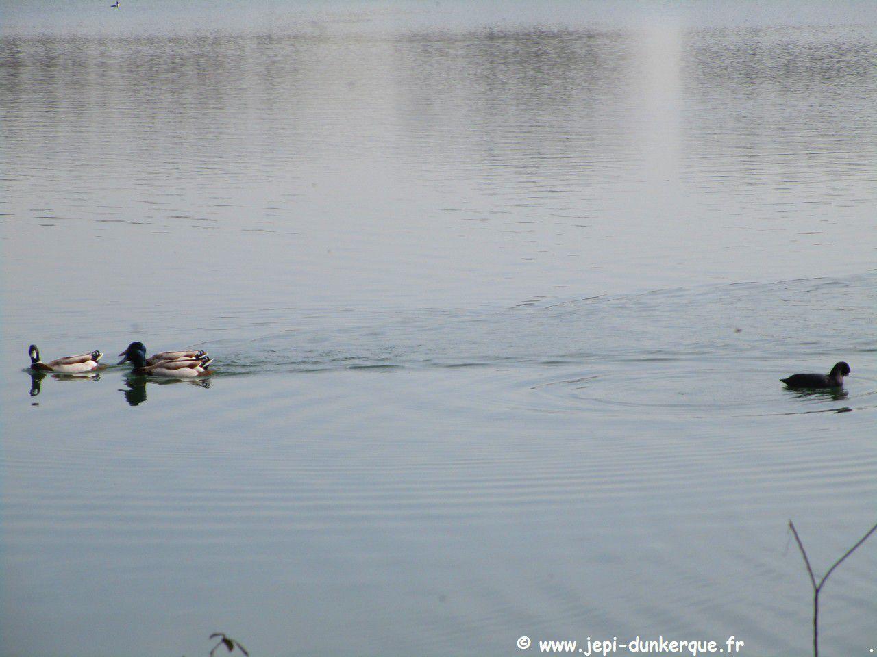Lac d'Armbouts-Cappel - Dunkerque 03 2021
