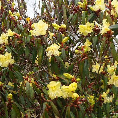 Rhodendron Lutescens
