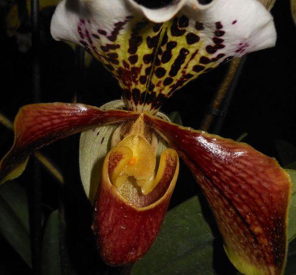 Dans le coeur de l'orchidée