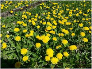 Dent de lion ou asteraceae de printemps