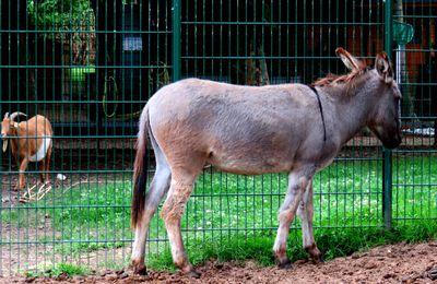 Jacotte, l'âne de la mini-ferme du parc Corbière, Le Pecq (Yvelines)