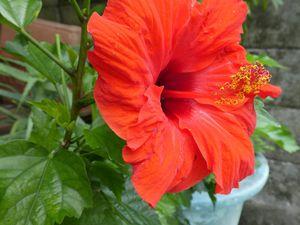 Hibiscus et frangipaniers au parfum de paradis