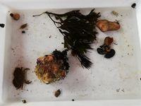 30 espèces marines seront présentées aux enfants dans des bacs avec un peu d'eau de mer (pour simuler une marée basse)