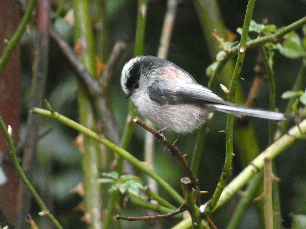 Comptez les oiseaux du jardin
