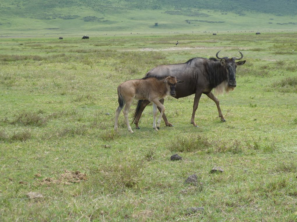 Tanzanie - Cratère de Ngorongoro. 1/2.