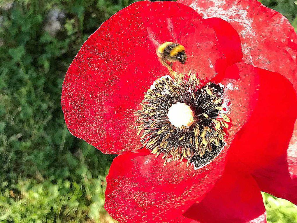 Les abeilles et autres butineuses