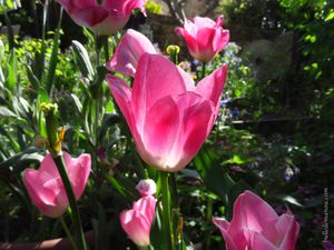 Les tulipes roses
