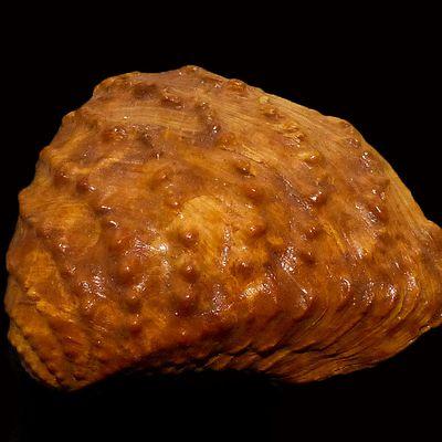 Myophorella clavellata (ex T. bronni)