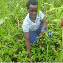 Contrôler les infestations de Striga en Afrique