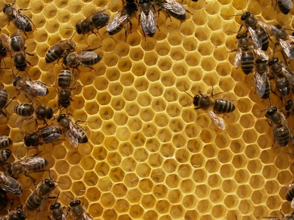 Les abeilles travaillent pour nous...s'il fait beau temps !