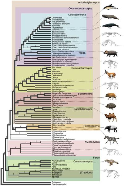 Cladogram showing the position of wolf