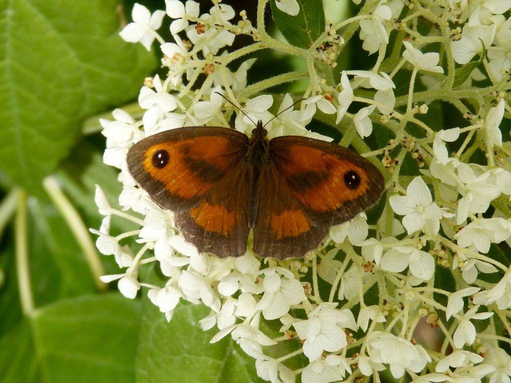 Mâle ( bandes brunes au travers de l'aile antérieure)