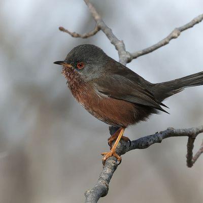 L'oiseau du jour : la fauvette pitchou