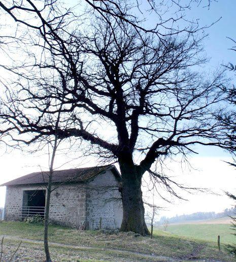 Vieux chêne pédoculé (certainement plus de 300 ans)
