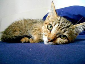 Tigresse, chaton femelle tigrée, à l'adoption -> adoptée