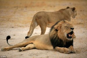 VOA - US Adds African Lions to Endangered List