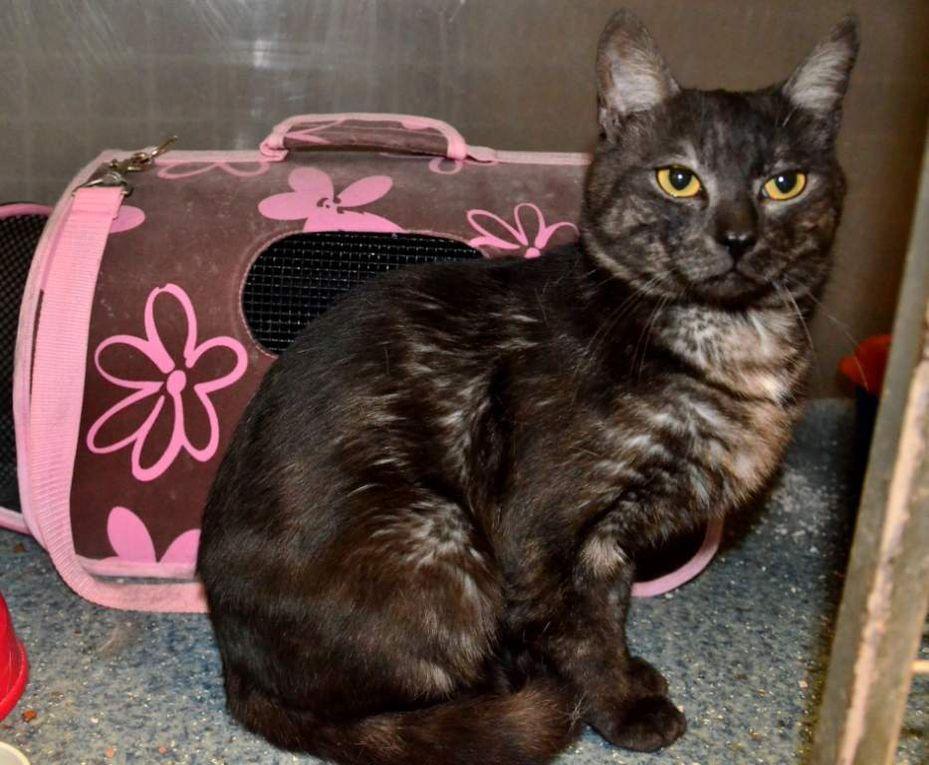 """Il est adopté !!!  : RUFUS, beau chat mâle castré """"brown smoke"""""""
