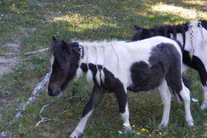 Nourrir mon poulain de 6 mois seulement avec de l'herbe, est-ce possible ?