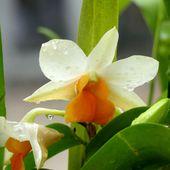 Fleurs du jour (20-31) - Noy et Gilbert en Thaïlande