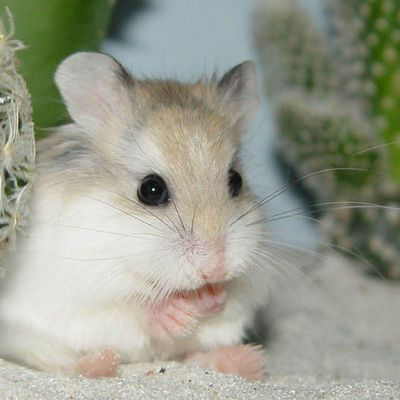 Animaux - Hamster - Cute - Cactus - Photographie - Wallpaper - Free