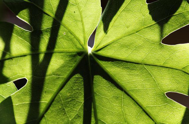 Fatsia japonica (Araliaceae)