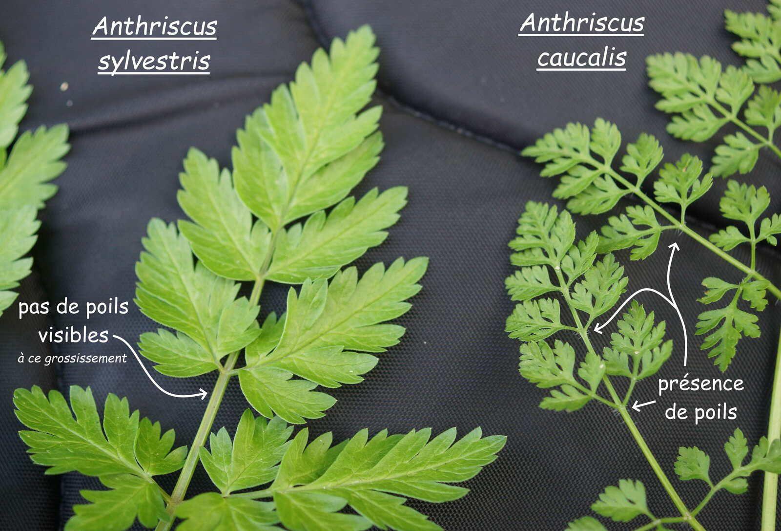 Feuilles d'Anthriscus caucalis et d'Anthriscus sylvestris