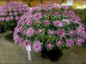 Novembre : Les expositions de chrysanthèmes géants!