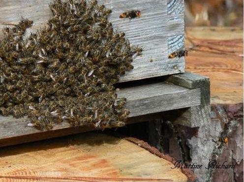 Une ruche attaquée par des frelons asiatiques - Cap-Ferret 201- Photo Martine Richard.
