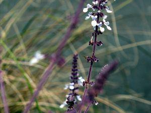 Lobelia de semis, fleur de la Salvia argentea,  Strobilanthes