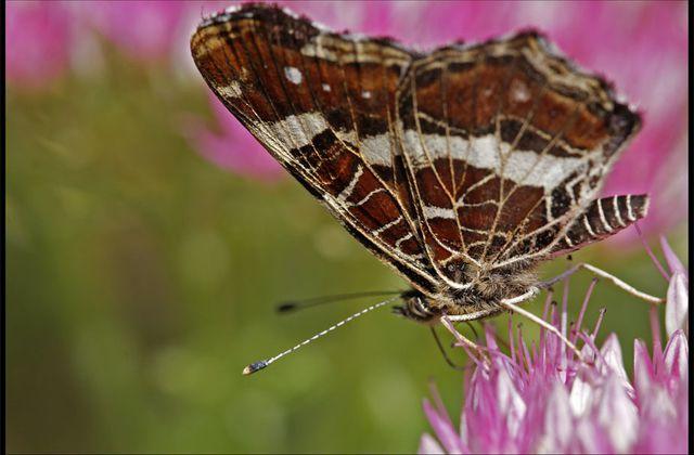 Un papillon sur un Sedum