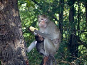 Les macaques à Khao Bin