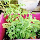 Avec le menthe, on peut aussi faire du pesto de menthe... - Le blog botanique de Nanie, petit à petit : un micro jardin urbain en expérimentation