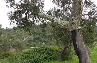 Le Mycenastrum, le deuxième champignon trouvé au Portugal (3)