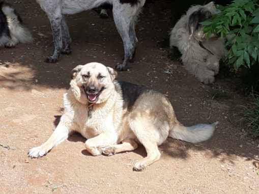 A l'adoption, Salomé, une gentille chienne croisée berger allemand