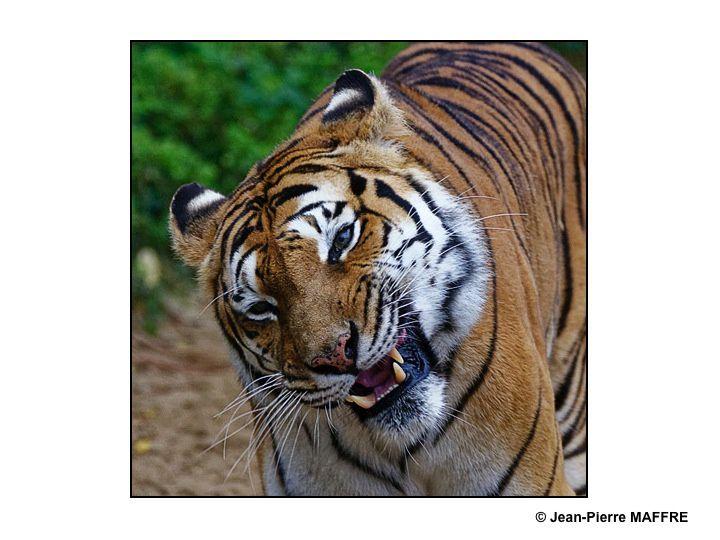Tigres, léopards, guépards et jaguars rivalisent d'ingéniosité dans la beauté de leur pelage.