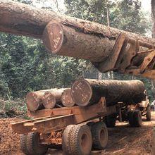 RDC : la compagnie IFCO accusée d'exploiter illégalement du bois